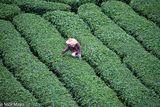 The Tea Picker