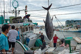 Large Yellow Fin Tuna Being Unloaded