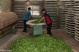 Drying Oolong Tea