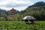 Strawberry Picker & Pagoda