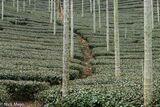 Path Through The Tea Plantation