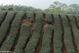 A Recently Harvested Tea Field