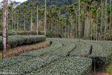 Tea Plantation & Betel Trees