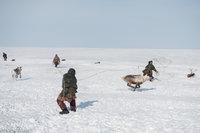 Lassoing,Nenets,Reindeer,Russia,Yamalo-Nenets