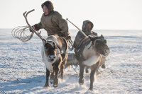 Lassoing,Nenets,Reindeer,Russia,Sledge,Yamalo-Nenets