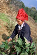 China,Harvesting,Hat,Yao,Yunnan