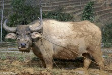 China,Water Buffalo,Yunnan