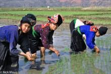 Dai,Headdress,Paddy,Planting,Son La,Vietnam