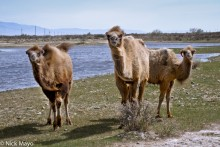 Camel,China,Xinjiang