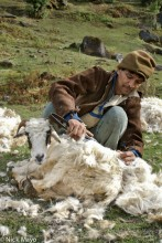 India,Shearing,Sheep,Uttarakhand