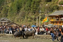 Bullfight,China,Dong,Guizhou