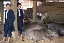 Lai Chau,Vietnam,Water Buffalo,Yao