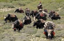 Dolpo,Dolpo-pa,Horse,Nepal,Pack Animal,Yak