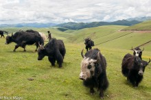 China,Herding,Sichuan,Yak
