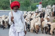 Gujarat,Herding,India,Rabari,Sheep,Turban