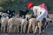 Gujarat,Head Scarf,Herding,India,Rabari,Sheep,Turban