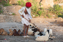 Gujarat,India,Rabari,Sheep
