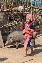 Laos,Loma,Phongsali,Pig