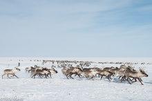 Reindeer Herd Racing