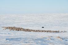 Herding,Nenets,Reindeer,Russia,Snowmobile,Yamalo-Nenets