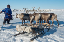Reindeer Harnessed To Sledge