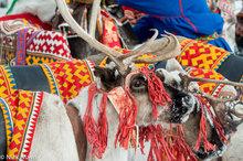 Reindeer Dressed For Yar Sale Festival