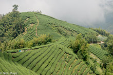 Central Mountains,Taiwan,Tea Field