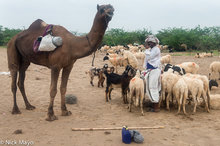 Camel,Gujarat,Herding,India,Rabari,Sheep,Turban