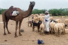 Shepherd With His Flock & Camel