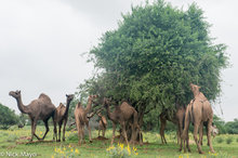 Camel,Gujarat,Herding,India
