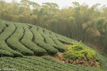 Bamboo,Central Mountains,Taiwan,Tea Field