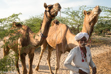 Camel,Festival,India,Rabari,Rajasthan,Turban