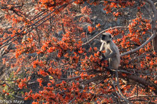 Langur In Flame Of The Forest Tree