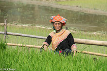 Hmong Woman In Rice Field