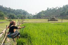 Hmong Woman Transplanting Rice