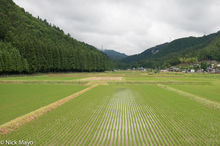 Valley Of Paddy Rice