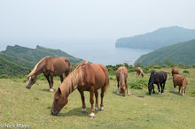 Wild Horses Grazing At Onimai Lookout