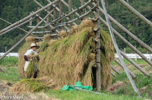 Farmer Hanging Rice On Drying Rack