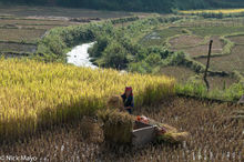 Head Scarf,Miao,Paddy,Threshing,Vietnam,Wicker Basket,Yen Bai