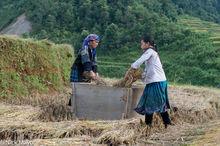 Head Scarf,Miao,Paddy,Threshing,Vietnam,Yen Bai