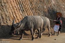 Apron, Lai Chau, Vietnam, Water Buffalo, Yao