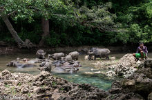 Water Buffalo Cooling In The River