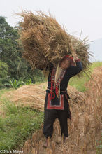 Carrying The Freshly Cut Rice