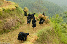 Ha Giang, Harvesting, Head Scarf, La Chi, Paddy, Vietnam