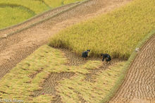 Two Girls Harvesting The Rice Crop