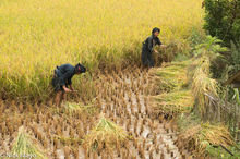 Two Women Harvesting Rice