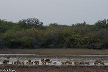 India, Rajasthan, Wild Boar