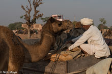 Camel, Festival, India, Rajasthan, Turban