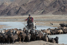 Driving The Migrating Sheep & Goats