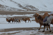 Altai Mountain Camels